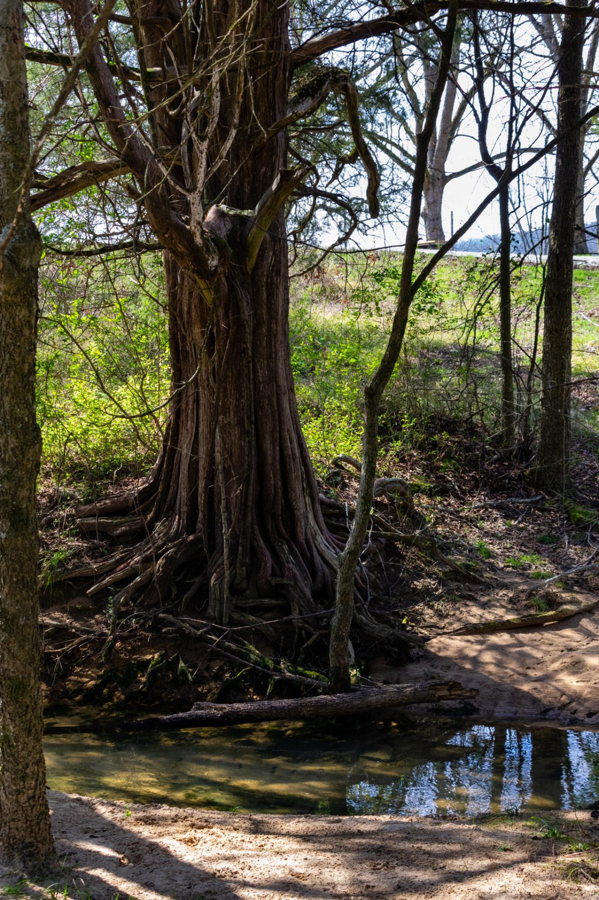 Tree at Bethel Spring Nature Preserve