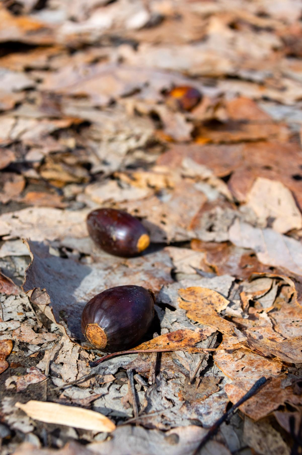 Monte Sano Winter Acorns