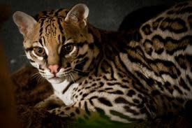 zooamerica-ocelot-animals