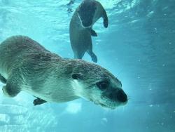 ABQ BioPark Aquarium Otters
