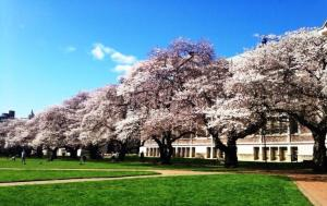 Top 5 Places to See Japanese Cherry Blossoms University of Washington