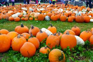 Pumpkins at Stokoe Farms