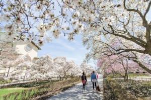 Cherry Blossoms - Brooklyn Botanic Garden