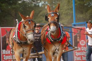 Benson Mule Days, the largest festival held in Johnston County, NC.