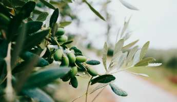 16th Annual Olive Festival