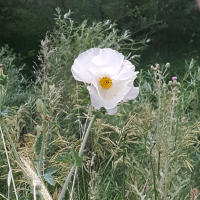 Crested Prickly Poppy