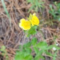Leafy Cinquefoil Flower