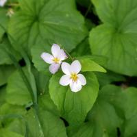 Candian Violet Flower