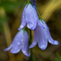 Harebell Flower