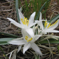 Sand Lily Flower