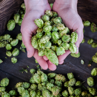 Agrarian Ales Brewing Company Hop Harvest