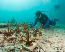 NSU students placing coral on ocean floor