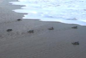 Baby sea turtles heading towards ocean