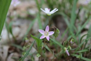 The Spring Beauty flower at Charlestown State Park