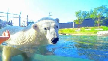 A polar bear swims at the Buffalo Zoo