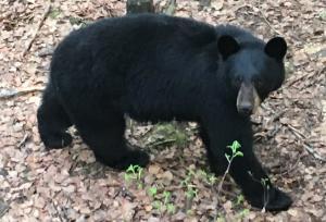 Black Bear in White Mountains - Leo Faro