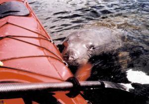 Manatee next to kayak
