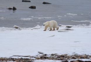 Polar Bear on the Bay