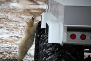 Young polar bear standing up against a Tundra Buggy