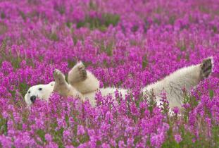 Bear in Fireweed - Dennis Fast