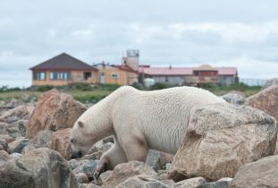 Polar bear in front of Seal River Heritage Lodge - Dennis Fast