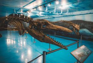 Bruce the Mosasaur at Canadian Fossil Discovery Centre