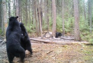 Multiple Black Bears on Baits