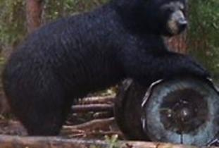 Boone and Crockett Black Bear