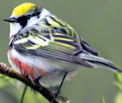 small-fat-yellow-bird