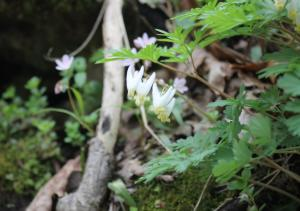 Dutchmans Breeches flower at Charlestown State Park