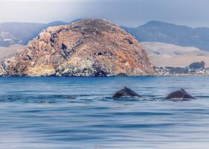 Whales and Morro Rock