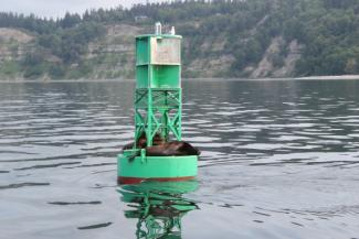 buoy with sleeping seals in Puget Sound