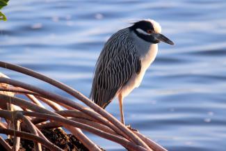 Bird in Mangroves - Paula Miller