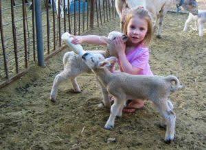 lambs-300x219.jpg