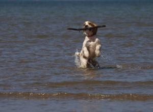 Dog with Stick in Ocean
