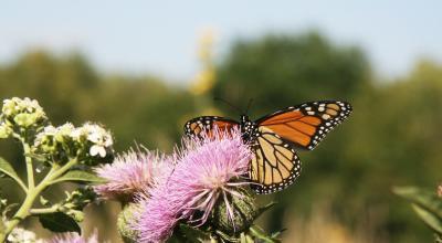 Chaplin Nature Center Monarch