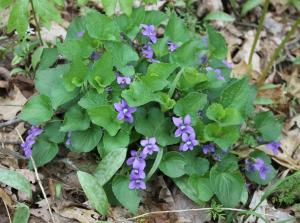 Common Violet flower at the Charlestown State Park