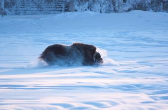 Solstice - Musk ox in snow