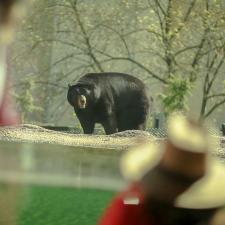 zooamerica-black-bear