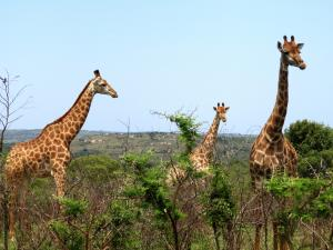 Giraffes at the Hluhluwe/ Imfolozi Game Reserve