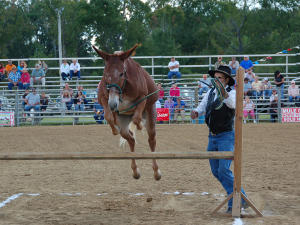 Mule jumping contest at Benson Mule Days events in Benson, NC.