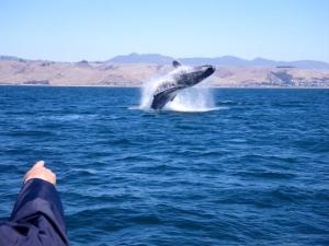 Whale breaching off the Morro Bay coast_photo credit subsea tours_web.JPG