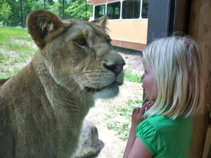 A kid watches a lion close up through the glass at the Seneca Park Zoo