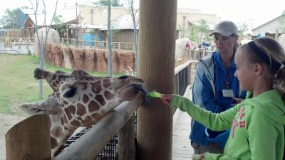 Giraffe feeding at the Columbus Zoo