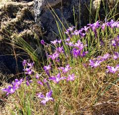 Purple Flowers at Horse Rock