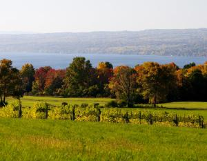 Fall Vineyard in the Finger Lakes