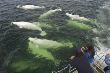 Beluga whale watching in Churchill, Manitoba