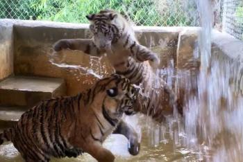 Tigers playing in their pool at Octagon Wildlife Sanctuary