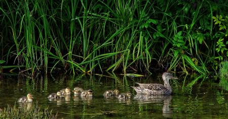 Galdwell Duck with family