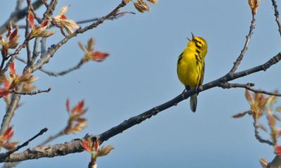 Prairie-Warbler-bird-credit-Indiana-Dunes-State-Park1